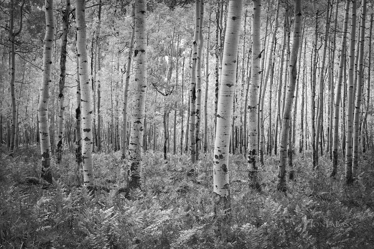 Afternoon, Aspen Trees, Aspens, Autumn, Black & White, Black and White, Colorado, Colorado Rockies, Colorado Rocky Mountains, Fall, Ferns, Owl Creek Pass, Rockies, Rocky Mountains, Trees, Uncompahgre National Forest, United States