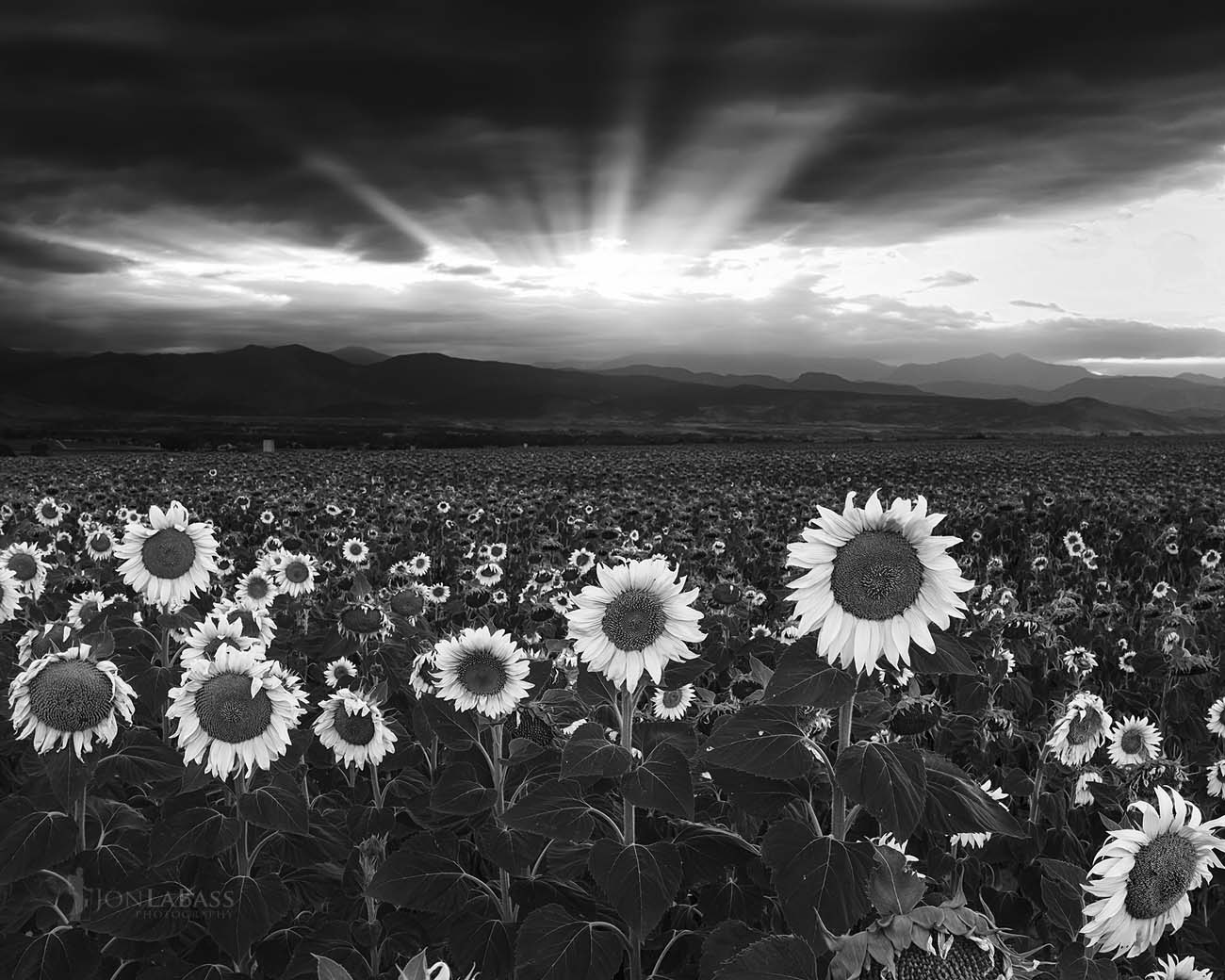 Black & White, Black and White, Clouds, Colorado, Evening, Flowers, Niwot, Sunburst, Sunflowers, Sunset, United States
