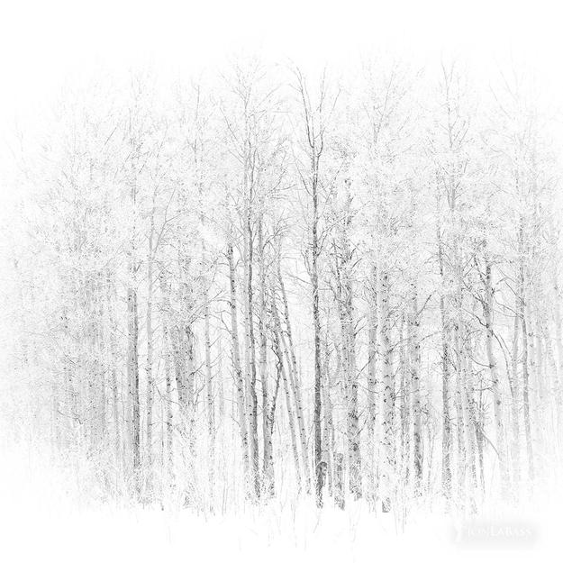 Aspen Trees, Aspens, Grand Tetons, National Parks, Snow, Tree, Trees, United States, White, Winter, Wyoming