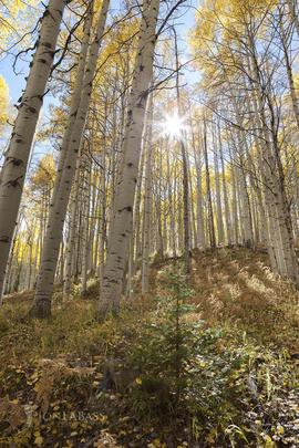 Afternoon, Aspen Trees, Aspens, Autumn, Colorado, Colorado Rockies, Colorado Rocky Mountains, Fall, Ferns, Gunnison National Forest, Kebler Pass, Leaves, Rockies, Rocky Mountains, Sunburst, Sunstar, Trees, United States