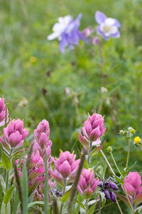 san juans, san juan mountains, summer, afternoon, indian paintbrush, owl's clover, owl clover, owls clover, foliage, flowers, columbine, floral, foliage, wildflowers