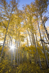 fall, autumn, colors, kebler pass, morning, aspens, rockies, rocky mountains, sunburst